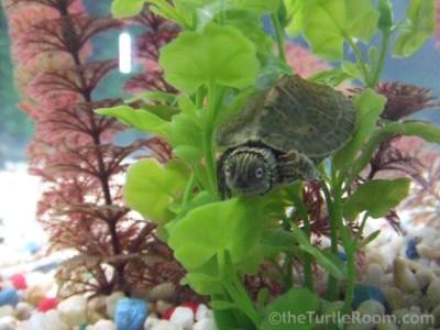 Hatchling Graptemys versa (Texas Map Turtle)