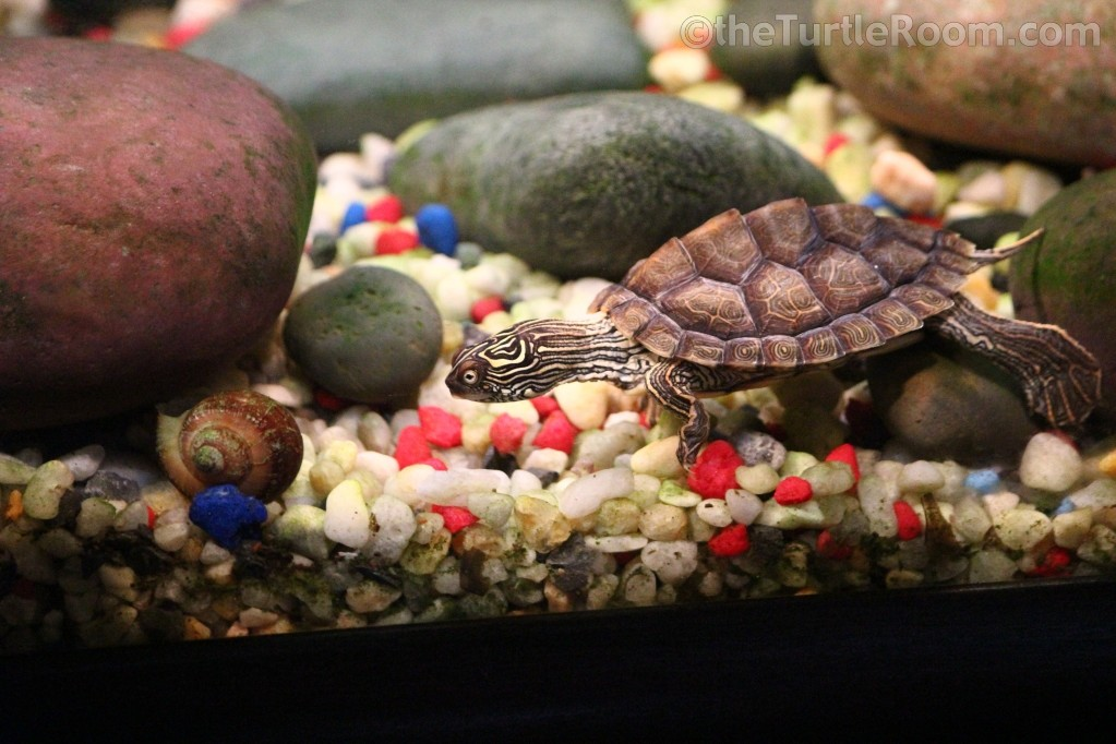 Yearling Female Graptemys versa (Texas Map Turtle)