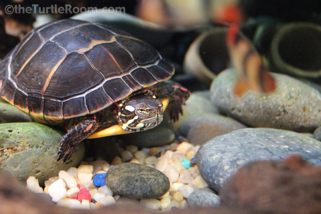 Chrysemys picta picta (Eastern Painted Turtle)