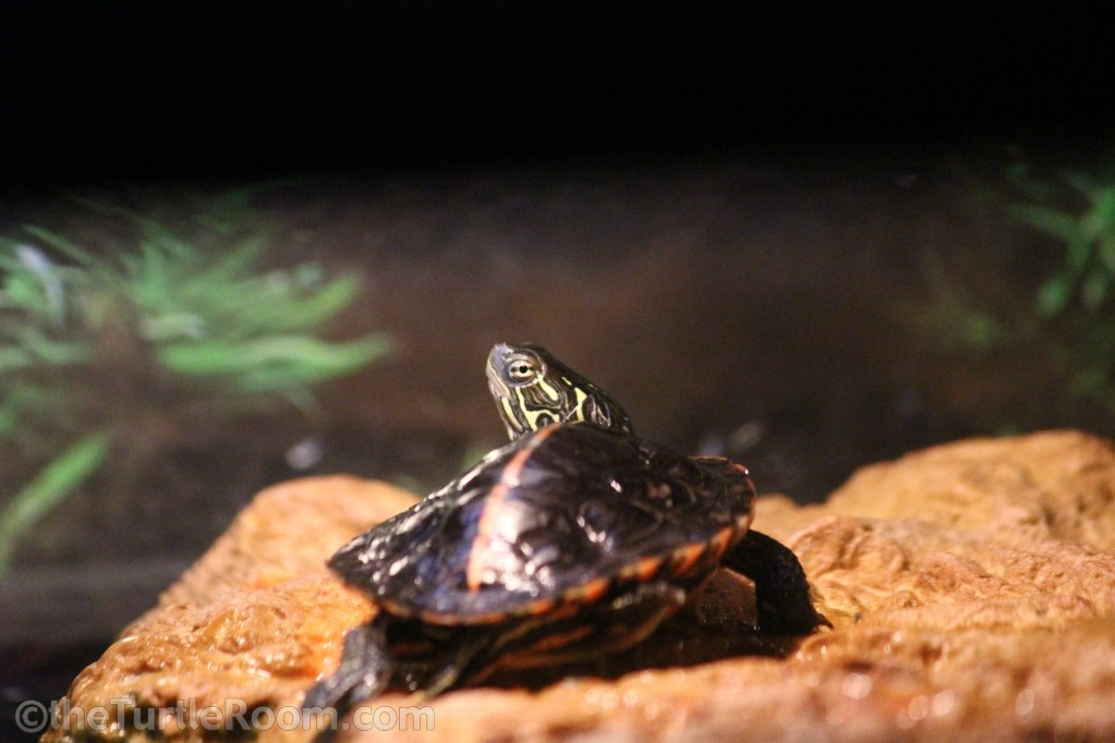 Juvenile Male Chrysemys dorsalis (Southern Painted Turtle)
