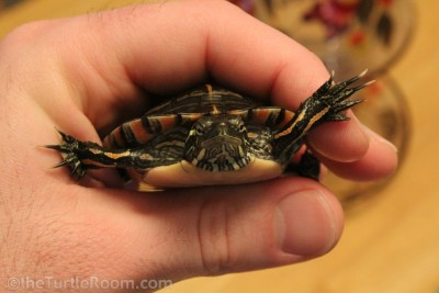 Sub-Adult Male Chrysemys dorsalis (Southern Painted Turtle)