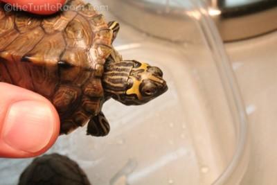 Hatchling Graptemys barbouri (Barbour's Map Turtle)