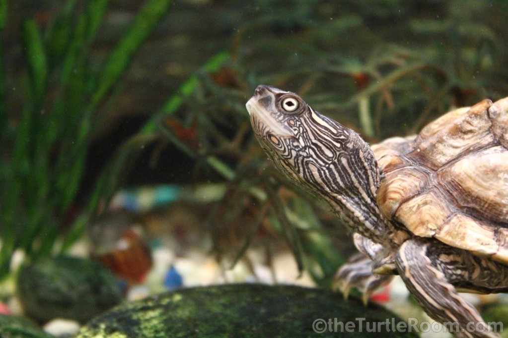 Adult Female Graptemys versa (Texas Map Turtle)
