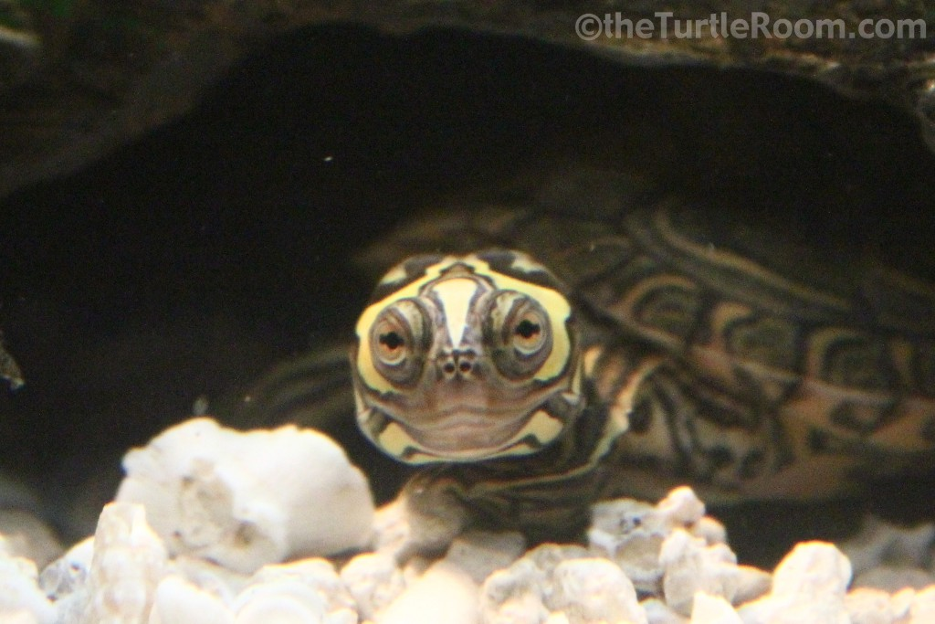Graptemys barbouri (Barbour's Map Turtle)