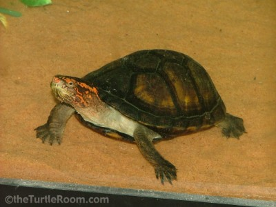 Adult Red-Cheeked Mud Turtle
