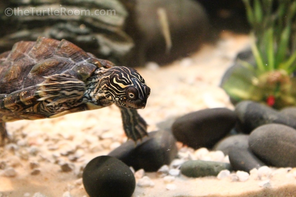 Graptemys versa (Texas Map Turtle)