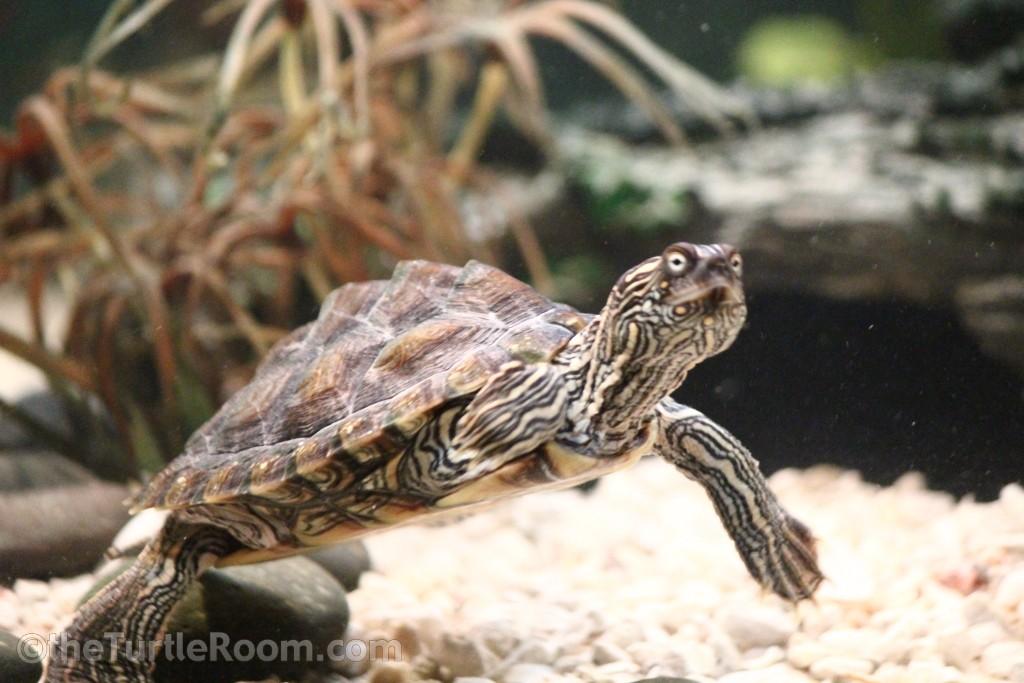 Juvenile Female Graptemys versa (Texas Map Turtle)