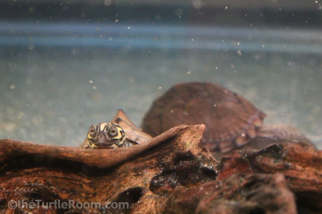 Hatchling Graptemys barbouri (Barbour's Map Turtle)