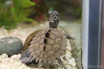 Hatchling Graptemys nigrinoda delticola (Delta Map Turtle)