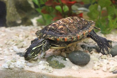 Juvenile Male Southern Painted Turtle