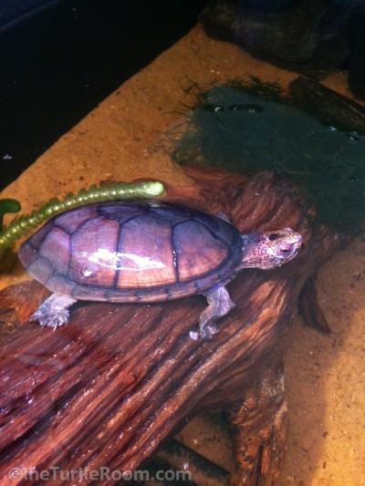 Adult Female Tabasco Mud Turtle