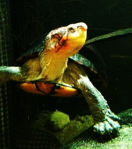 Adult Female Red-Cheeked Mud Turtle