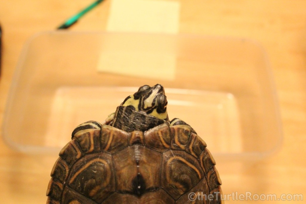 Yearling Female Graptemys barbouri (Barbour's Map Turtle)