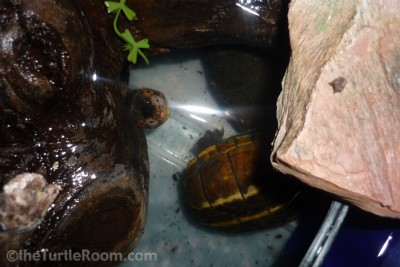 Adult Male Kinosternon baurii (3-Striped Mud Turtle)