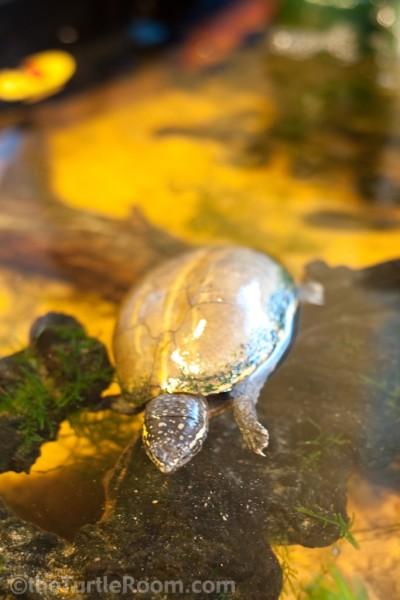 Adult Female Kinosternon baurii (3-Striped Mud Turtle)