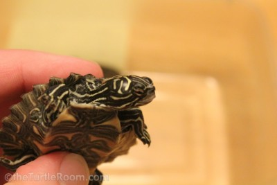 Hatchling Male Graptemys nigrinoda delticola (Delta Map Turtle)