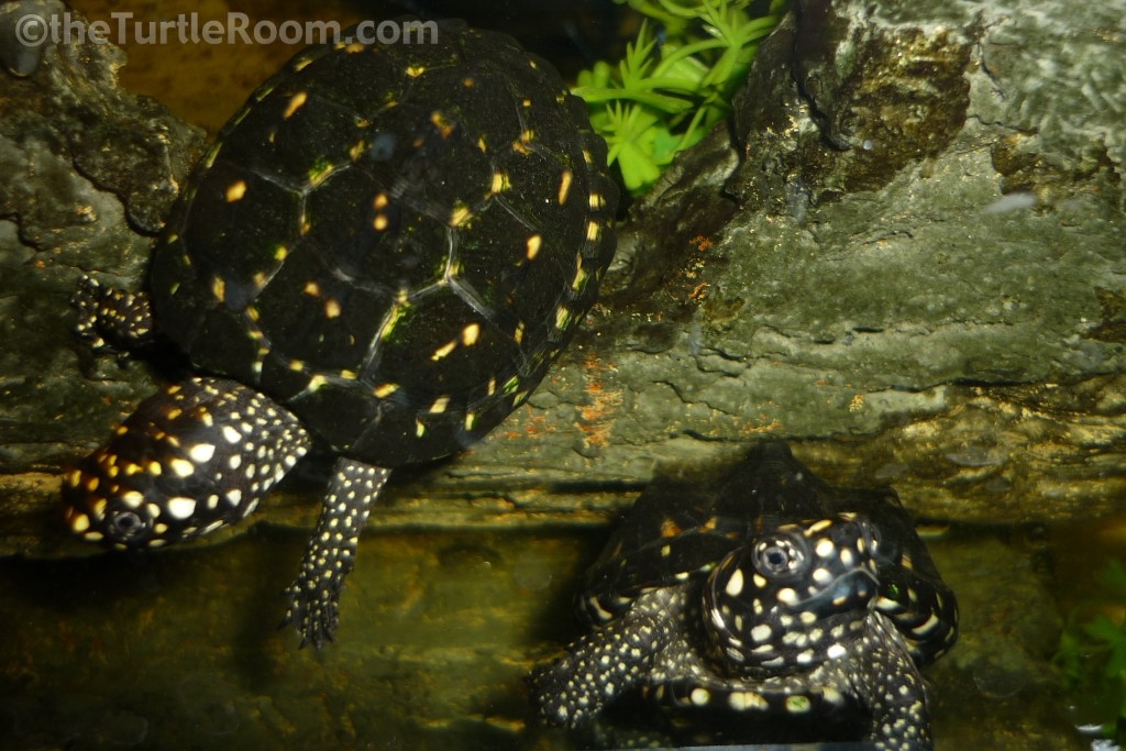 Geoclemys hamiltonii (Indian Spotted Pond Turtle)