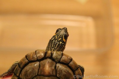 Adult Male Graptemys versa (Texas Map Turtle)