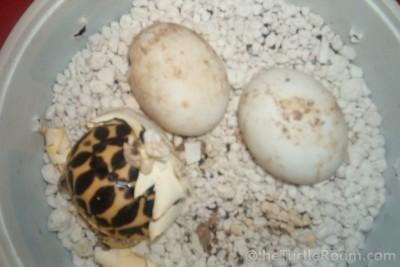 Hatching Geochelone elegans - Indian Variant (Indian Star Tortoise)