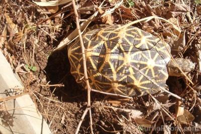 Adult Female Geochelone elegans - Indian Variant (Indian Star Tortoise)