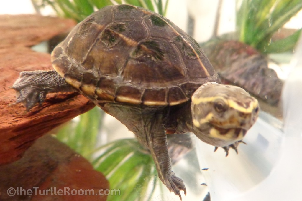 Kinosternon baurii (3-Striped Mud Turtle)
