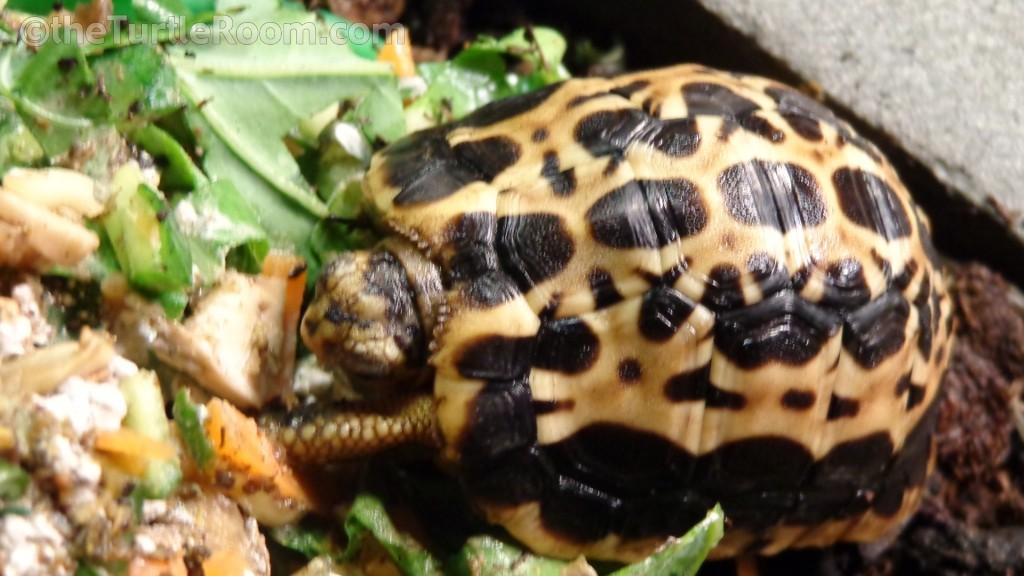 Hatchling Pyxis arachnoides arachnoides (Common Spider Tortoise)