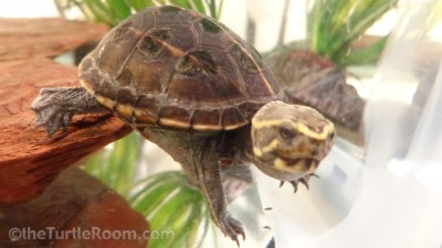 Yearling Kinosternon baurii (3-Striped Mud Turtle)