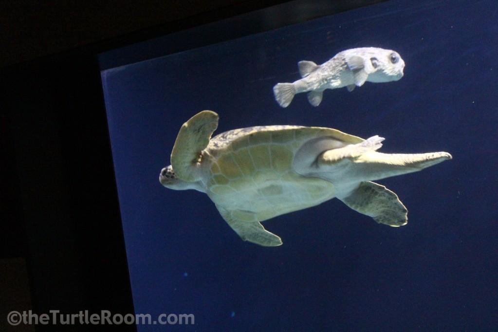 Adult Male Green Seaturtle - Tennessee Aquarium