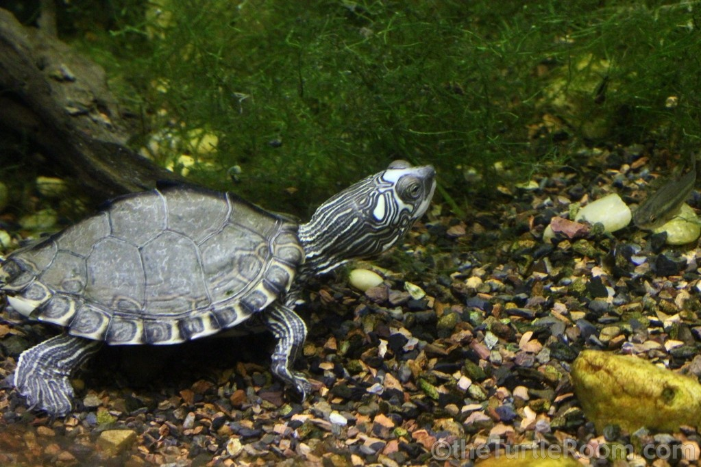 Juvenile Female Graptemys pearlensis (Pearl River Map Turtle) - Tennessee Aquarium