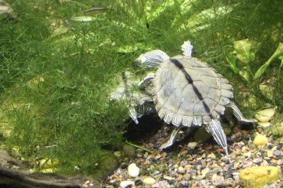 Adult Male and Juvenile Female Graptemys pearlensis (Pearl River Map Turtle) - Tennessee Aquarium