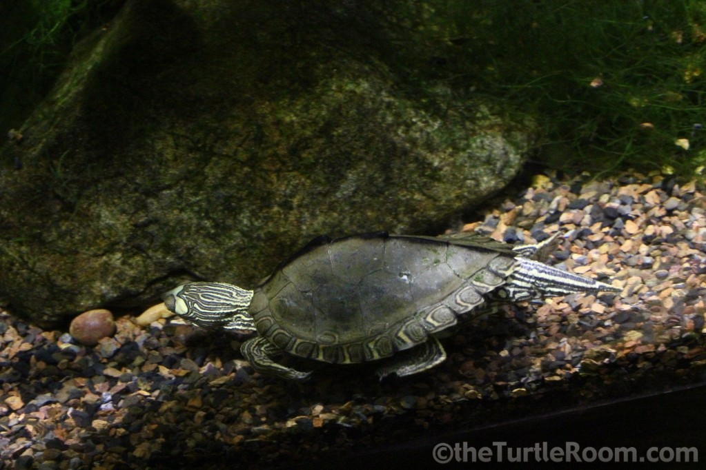 Adult Male Graptemys pearlensis (Pearl River Map Turtle) - Tennessee Aquarium