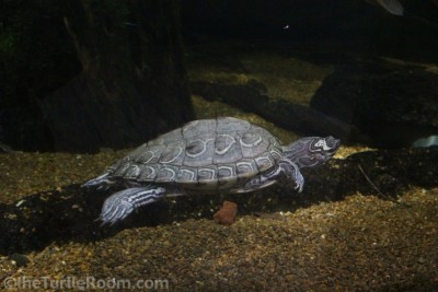 Adult Female Graptemys barbouri (Barbour's Map Turtle) - Tennessee Aquarium