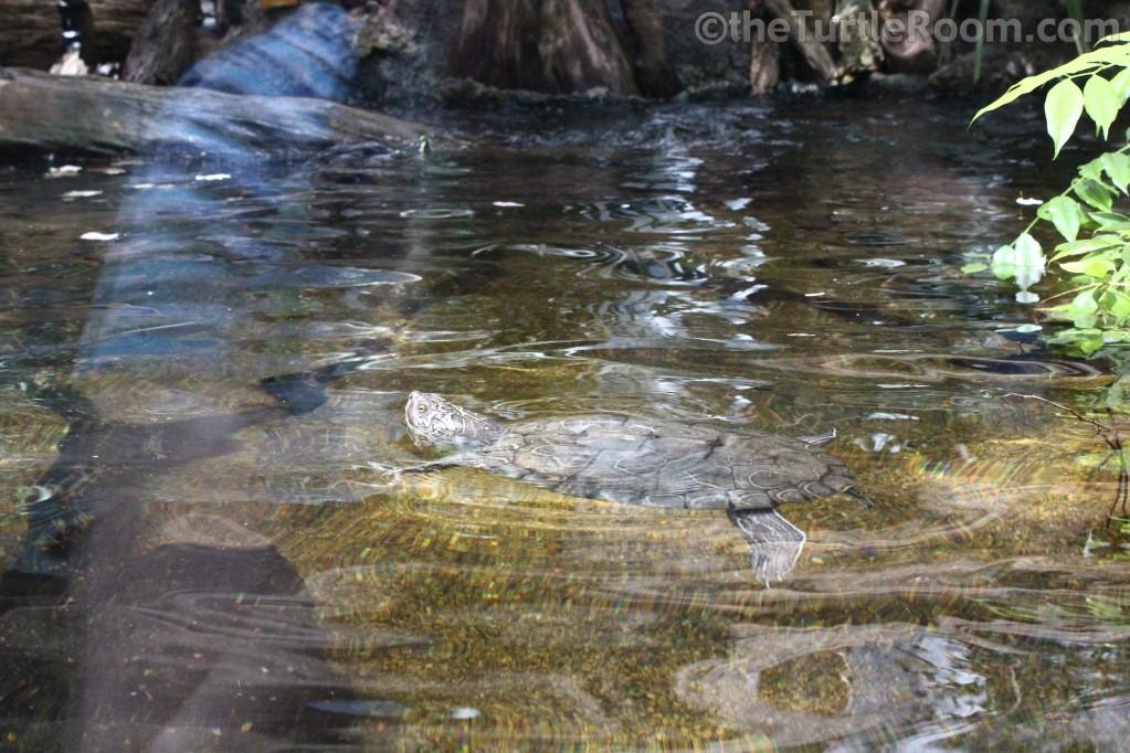 Adult Female Graptemys barbouri (Barbour's Map Turtle) - Tennessee Aquarium