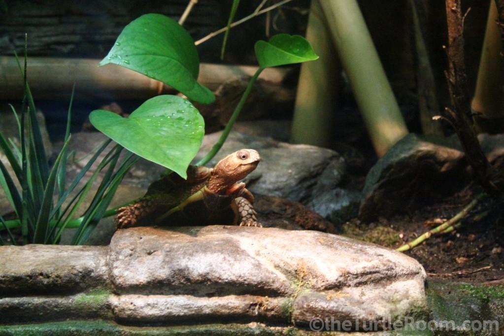 Adult Female Geoemyda spengleri (Vietnamese Black-Breasted Leaf Turtle) - Tennessee Aquarium
