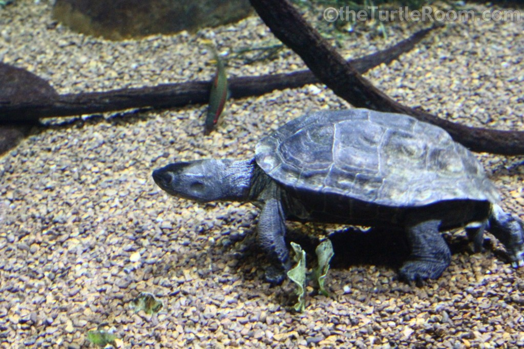 Mauremys nigricans (Red-Necked Pond Turtle)