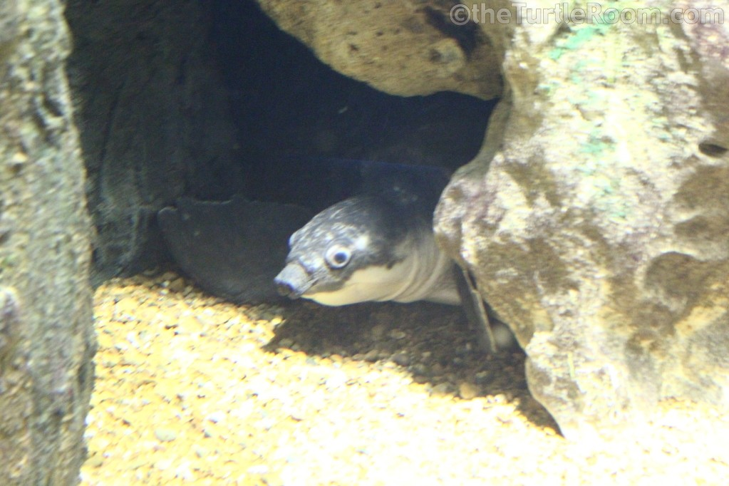 Carretochelys insculpta (Fly River Turtle)