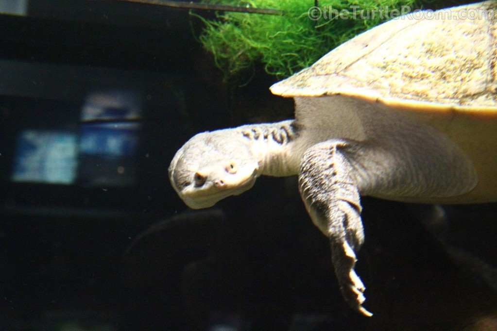 Chelodina (Macrochelodina) expansa (Broad-Shelled Snake-Necked Turtle)