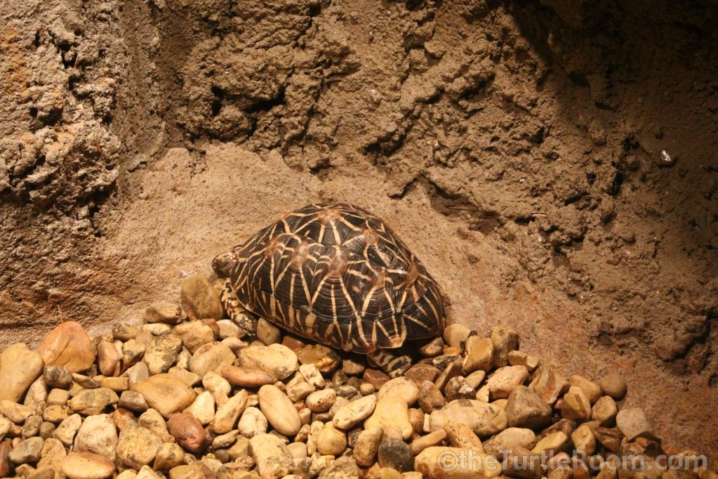 Adult Female Geochelone elegans - Indian Variant (Indian Star Tortoise) - Tennessee Aquarium