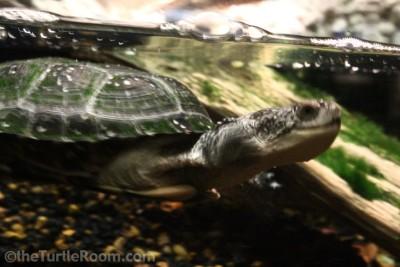 Yearling Emydoidea blandingii (Blanding's Turtle) - Tennessee Aquarium