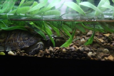 Yearling Sacalia quadriocellata (Four-Eyed Turtle) - Tennessee Aquarium