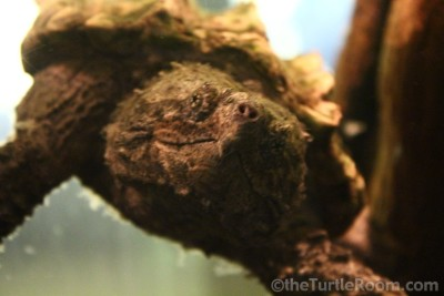 Juvenile Macrochelys temminckii (Alligator Snapping Turtle) - Tennessee Aquarium