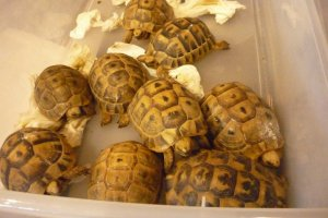 Turtle Towns' Greek Tortoises on Display at Hamburg Reptile Show (photo courtesy of Mike R.)