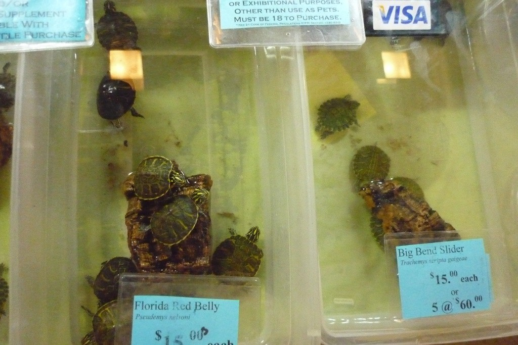 Turtles on Display at Hamburg Reptile Show (photo courtesy of Mike R.)