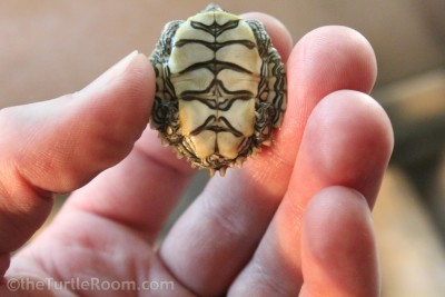 Hatchling Graptemys caglei (Cagle's Map Turtle)