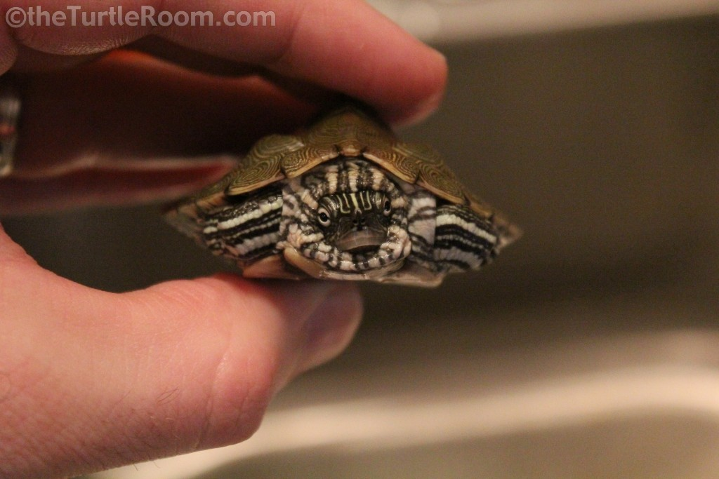Graptemys caglei (Cagle's Map Turtle)