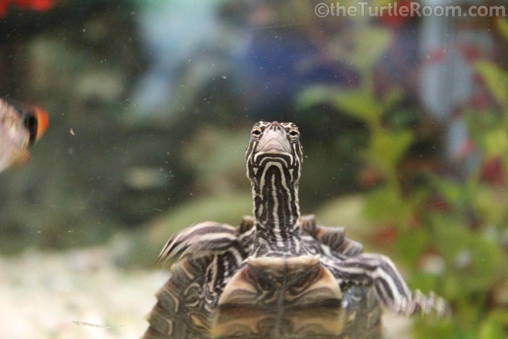 Juvenile Male Graptemys nigrinoda delticola (Delta Map Turtle)