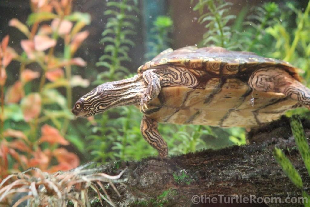 Sub-Adult Female Graptemys versa (Texas Map Turtle)