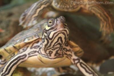 Juvenile Female Graptemys barbouri (Barbour's Map Turtle)