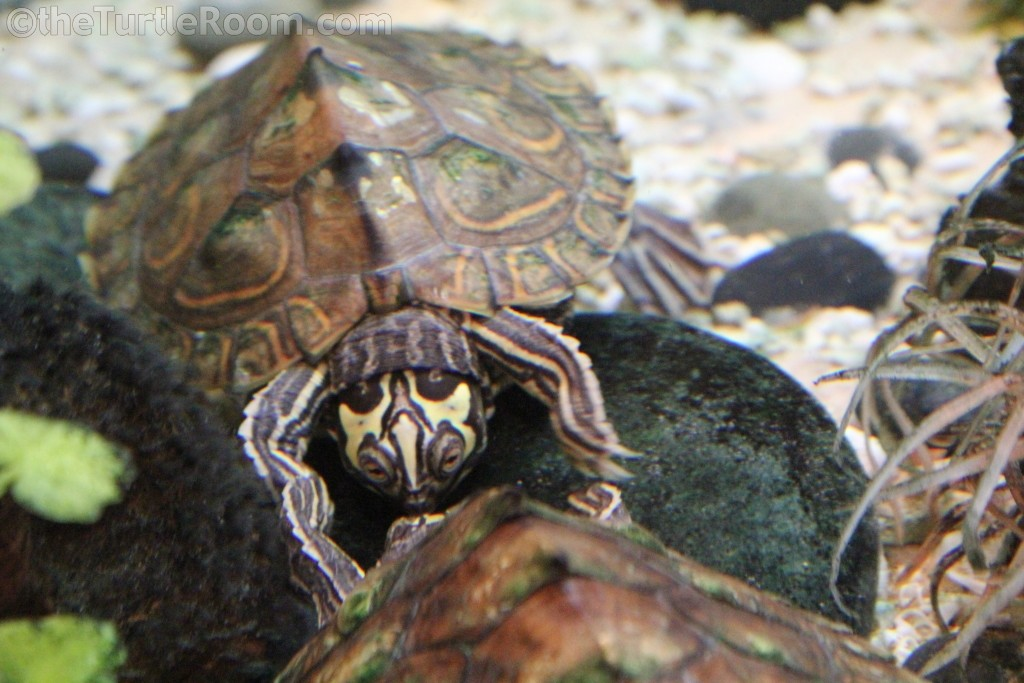 Juvenile Female Graptemys barbouri (Barbour's Map Turtle)