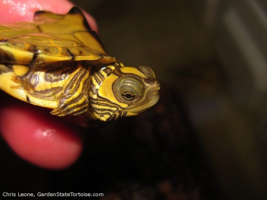 Hatchling Graptemys ernsti (Escambia Map Turtle)